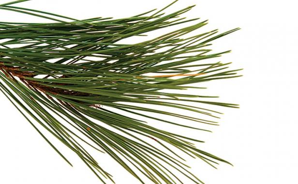 How To Prune Conifers Finegardening