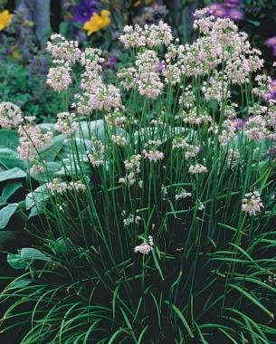 Alliums all season long finegardening waterwise bulbs keep summer rolling mightylinksfo Image collections