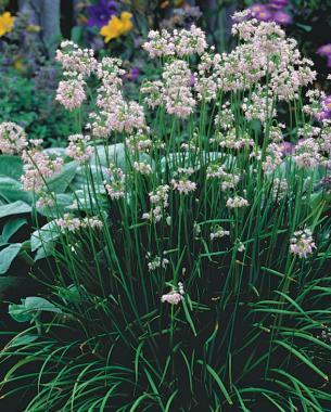 Alliums all season long finegardening waterwise bulbs keep summer rolling mightylinksfo