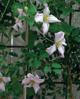 The many faces of clematis finegardening little nell is a tough vine with subtle beauty mightylinksfo