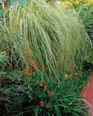 9 new and unusual grasses finegardening gold band pampas grass is the best of the family workwithnaturefo