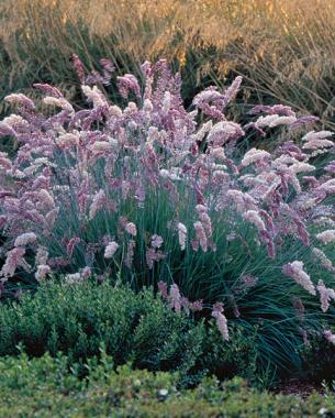 Tall Ornamental Grass Varieties 9 new and unusual grasses finegardening ruby grass melinus nerviglumis syn rhynchelytrum neriglume photoillustration saxton holt workwithnaturefo