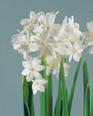 Flowering paperwhites for winter windowsills finegardening pure perfection in a simple flower tiny golden anthers and pale green pistils punctuate the opalescent white perianth and cup of ziva mightylinksfo
