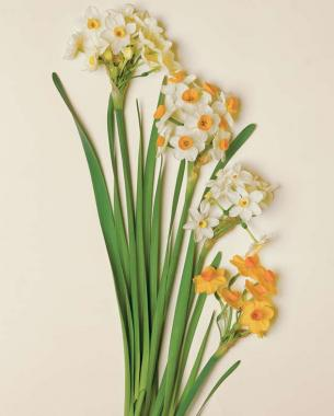 Flowering paperwhites for winter windowsills finegardening these easy to force bulbs have superior blossoms and scents mightylinksfo Images