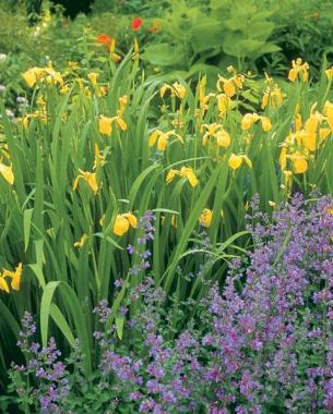 Wild irises extend the bloom season finegardening a brilliant yellow background european yellow flag which grows up to 5 feet tall provides a compelling background of yellow flowers for the blue catmint mightylinksfo
