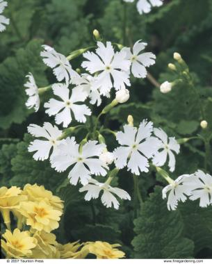 10 perennials easily grown from seed finegardening