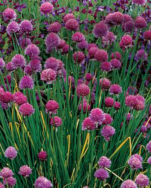 10 perennials easily grown from seed finegardening 1 allium blooms in several shapes and sizes mightylinksfo Choice Image