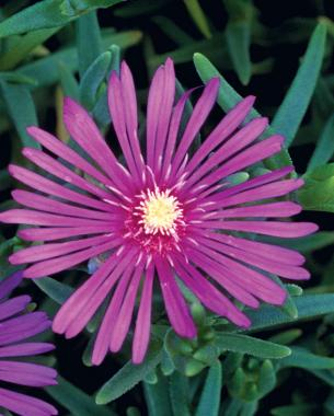 10 perennials easily grown from seed finegardening 3 hardy ice plant can cover a lot of ground mightylinksfo