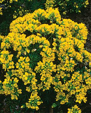 10 perennials easily grown from seed finegardening 7 draba likes dry conditions mightylinksfo