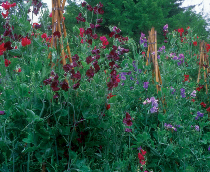 Success With Sweet Peas Finegardening
