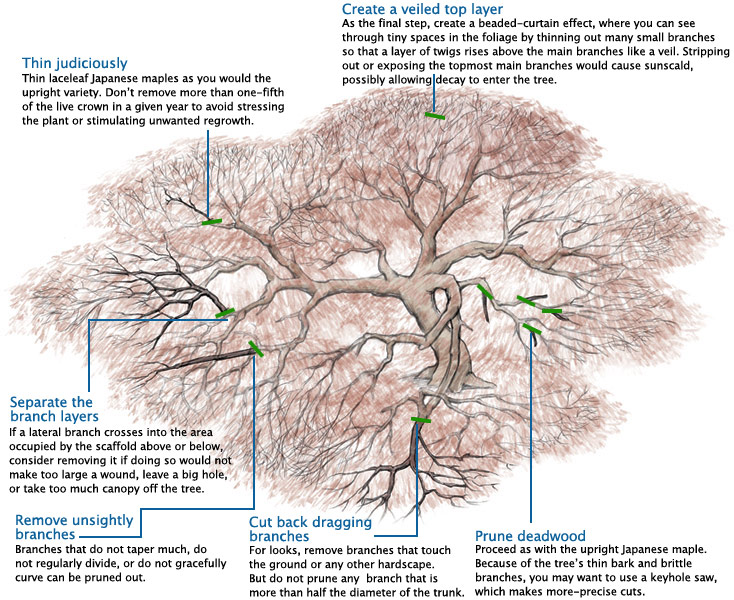 learn to prune japanese maples rh finegardening com Pruning Silver Maple Trees How Tall Does Japanese Maple Tree Get It