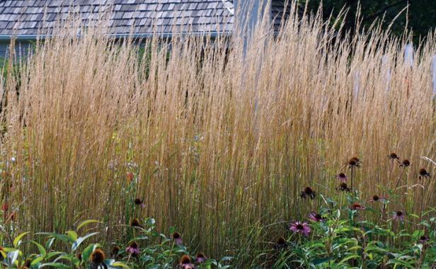 Tall Ornamental Grass Varieties Designing with grasses finegardening ornamental grasses make dynamic hedges workwithnaturefo