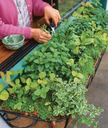 Lovely The Shady Window Box Includes Four Kinds Of Mint (pineapple, Spearmint,  Peppermint, Corsican Mint Ground Cover), Chervil, Alpine Strawberries,  Sorrel, ...