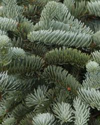 Balsam Fir Christmas Tree