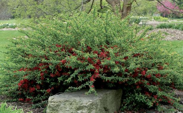 shrubs for slopes finegardening