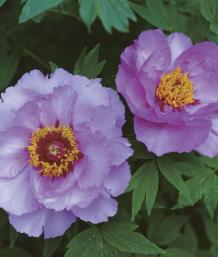 Tree Peonies Blossom In Dappled Shade Finegardening