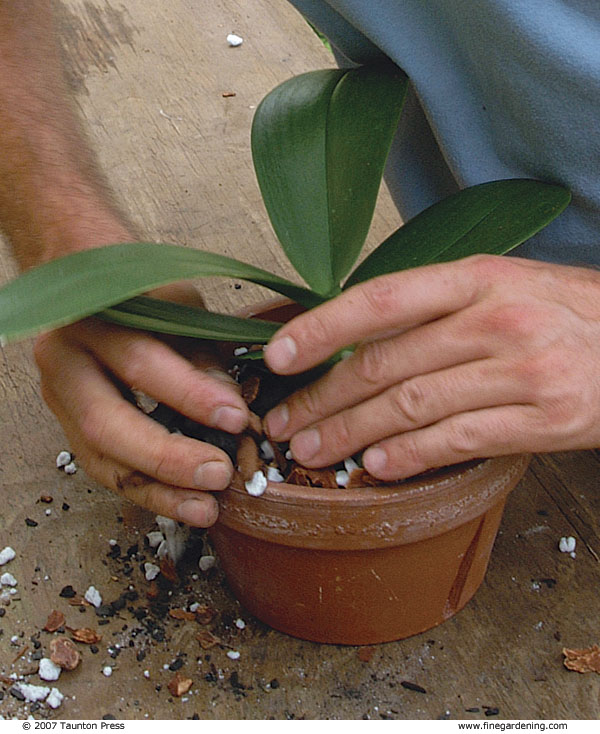 Step 6: Gently Pack The Potting Mix, Making Sure The Plant Roots Are Held  Firmly Within The Pot.