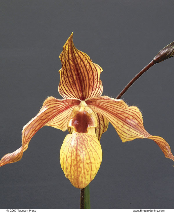 Ladyu0027s Slipper Orchid