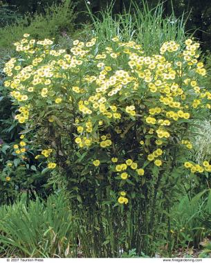 The best plants for sunny borders finegardening rudely and unfairly called sneezeweed helenium butterpat usda hardiness zones 48 makes the grade for its masses of sunny yellow flowers in august and mightylinksfo