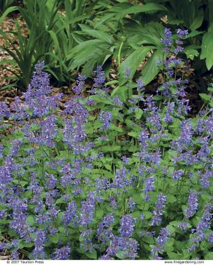The best plants for sunny borders finegardening persian catmint reblooms after its sheared mightylinksfo