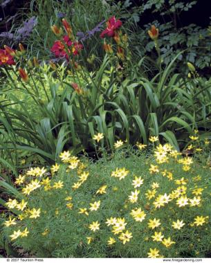 The best plants for sunny borders finegardening zagreb is a sturdy tickseed mightylinksfo