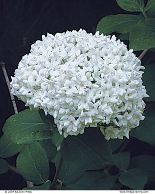 Pick plants for fragrance finegardening hyacinth viburnum and lilac star in the spring mightylinksfo