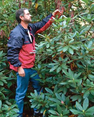 3 Ways To Prune Rhododendrons Finegardening