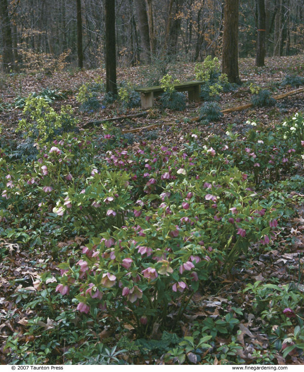 Fill winter with flowers finegardening a hellebore marks the seasons start mightylinksfo