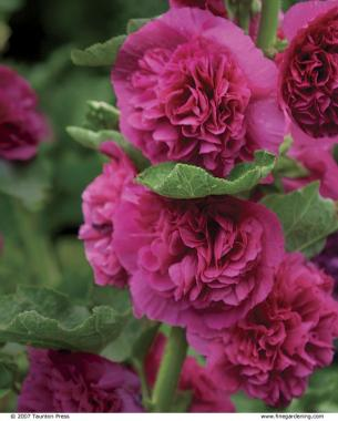 25 robust summer bloomers finegardening give a summer patio an appealing view mightylinksfo
