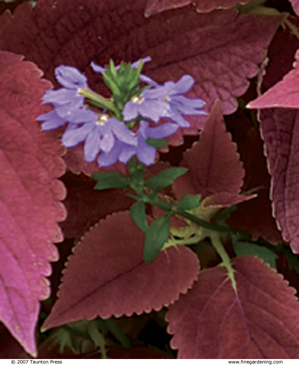 Fairy Fan Flower. Photo/Illustration: Todd Meier