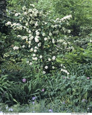 Viburnums are versatile shrubs finegardening but dont forget the flowers use a tall growing mightylinksfo
