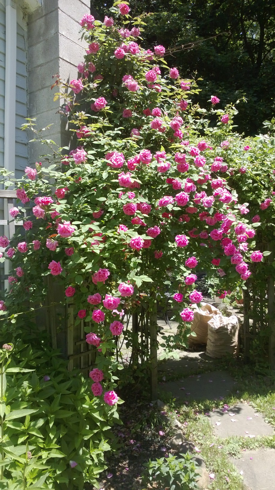 Love Garden Roses: Daryl's Garden In New Jersey, Revisited