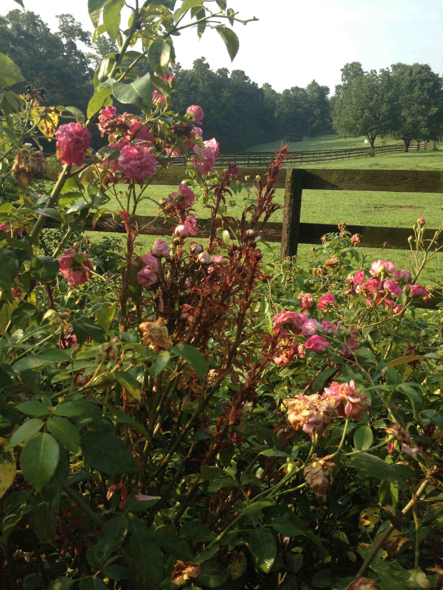 Rose Rosette Disease. Are The Knock Out Roses® to blame ...