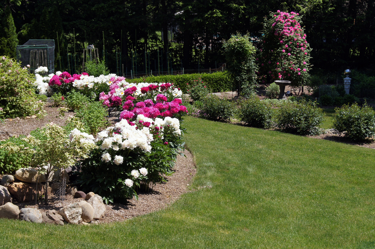 Peonies in clare 39 s garden in new jersey finegardening - Rose coltivazione in giardino ...