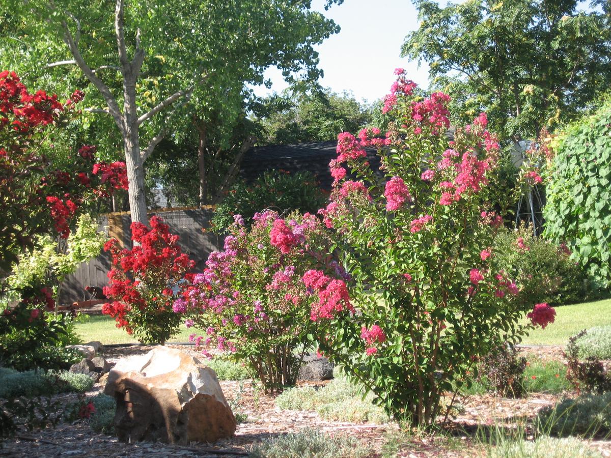 Judys garden in oklahoma finegardening judys garden in oklahoma a bed of crepe myrtles provide great summer color mightylinksfo