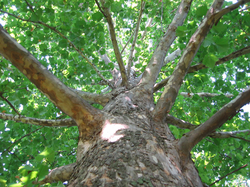 Fast-growing Trees to Avoid - FineGardening on