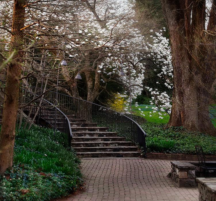Magnolias At Longwood Gardens