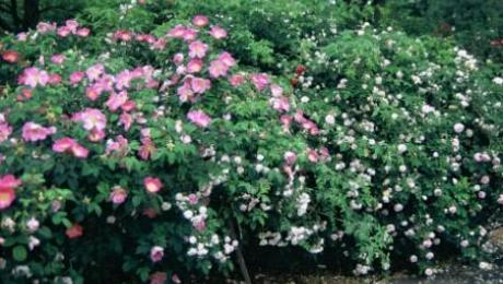 Got Thrips On Your Roses? Get Aphids! - FineGardening