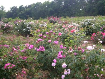 The Roses At My Old Nursery Not Planted With Bone Meal Photo Illustration Paul Zimmerman