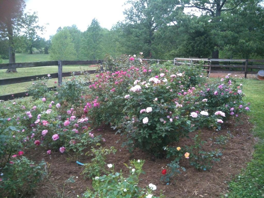 Simple Rose Garden: Simple Fertilizing Of Roses