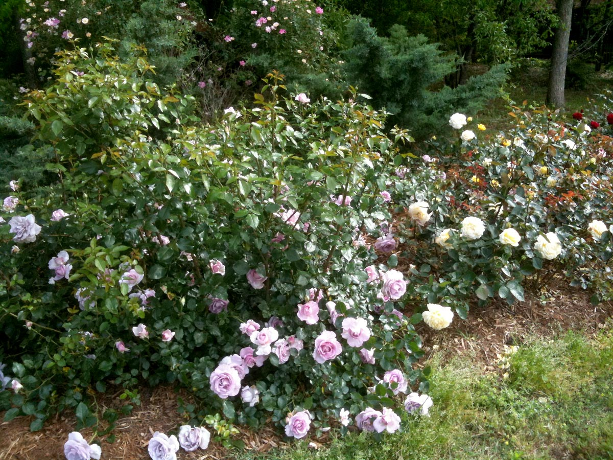 Ordinaire A Bed Of Younger Roses That Was Planted Just Last Summer. This Bed Has Mass  Planting Of The Same Vareity. Planted 20 Inches Apart And Then 36 Inches  Between ...