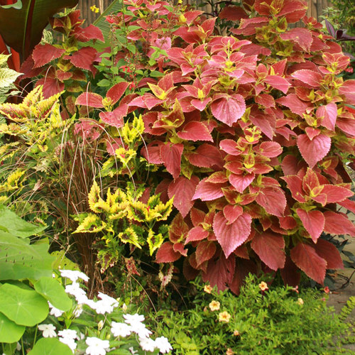 Pinching Coleus - FineGardening