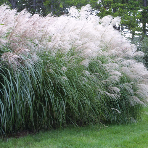 How To Divide Ornamental Grasses Finegardening