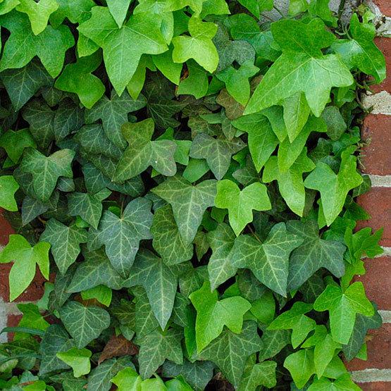 Hedera finegardening - Plantas trepadoras de sol ...