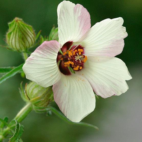 Hibiscus Finegardening