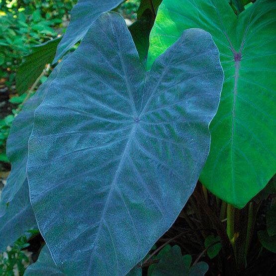 Colocasia Finegardening