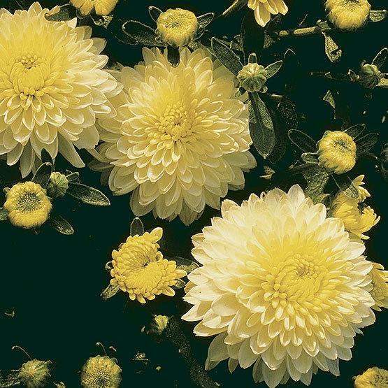 Chrysanthemum - FineGa...