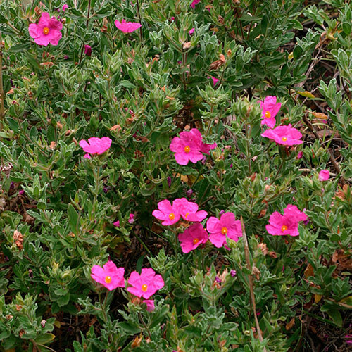 Cistus Finegardening
