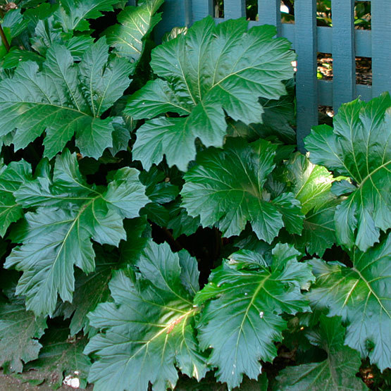 Acanthus Finegardening