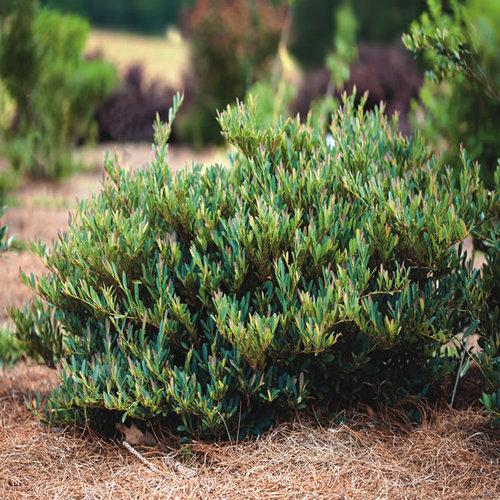 Garden Bush: Cinnamon Girl™ Distylium